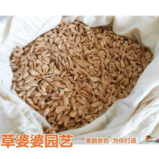 沭阳县 雪松种子新种子包邮