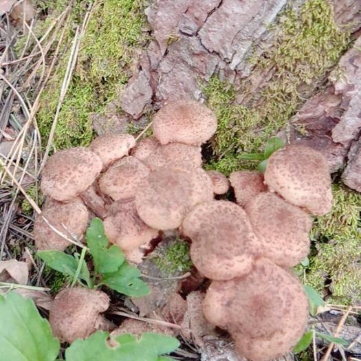 黑龙江省牡丹江市海林市 东北野生榛蘑  鲜蘑  包邮盐水野生榛蘑