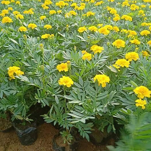 山东省潍坊市青州市 大量出售黄孔雀草