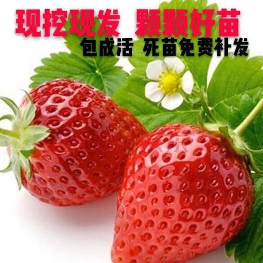 平邑县 新品草莓苗,奶莓,法兰地,妙香,红颜,四季,十三等各种草莓苗
