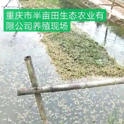 重庆石柱青蛙苗 免费养殖技术,技术服务一直跟踪到售出