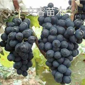 早巨宝葡萄苗  特早熟葡萄苗