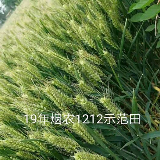 泰安肥城市小麥種子 煙農1212,抗病,抗倒,抗凍,產量高!