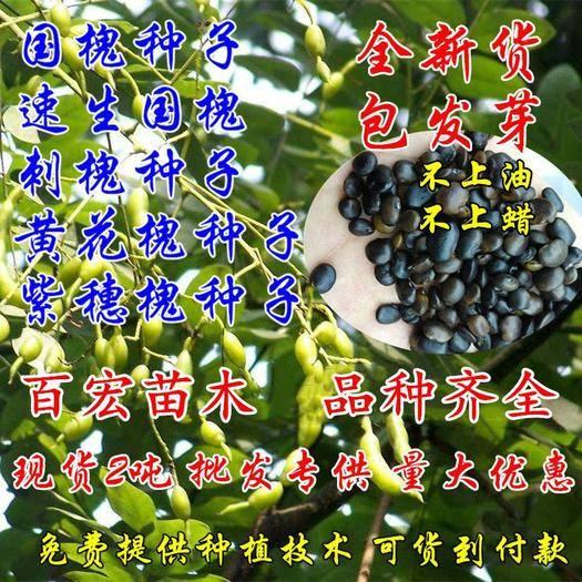 宿迁沭阳县 速生国槐种子白花刺槐种子洋槐树种子紫穗槐种子黄花槐树种子