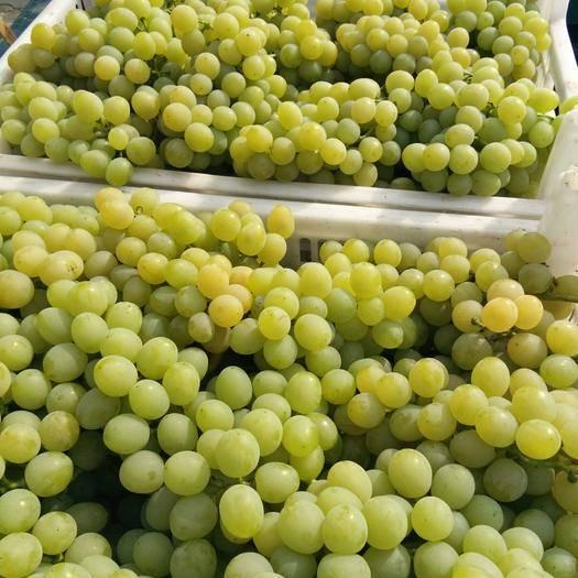 平度市 大泽山葡萄大量上市了