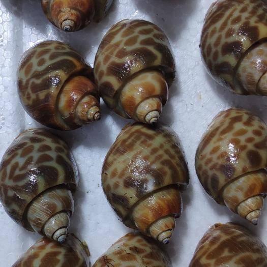 北海海城区 32斤/件400东风螺, 香螺,花螺,量大优惠