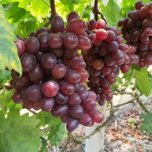 兴安县 温克葡萄刚上市,口感好,含糖量高,供货至元旦。
