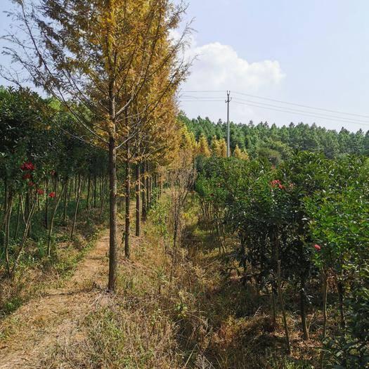 衢州江山市 金葉水杉種植,適應于行道樹,小區:濕地公園。