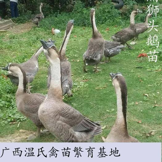 南寧西鄉塘區 純種合浦獅頭鵝苗 大苗 廠家直銷 100天出欄 15斤