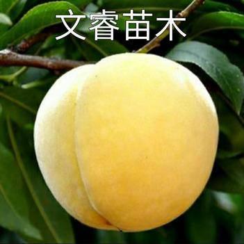 黄金蜜桃树苗  锦绣黄桃。