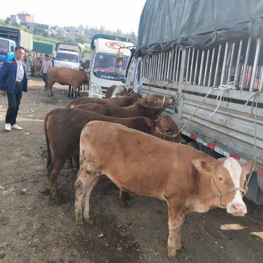 威寧彝族回族苗族自治縣 雜交牛
