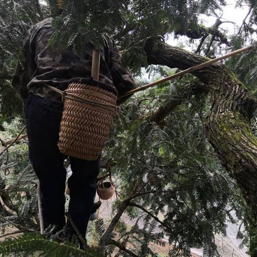 诸暨市香榧 千年圣果2019年新货榧农直发