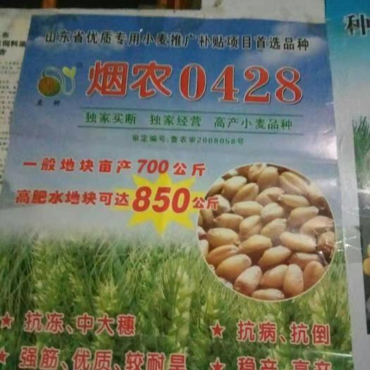 泰安肥城市 小麥種子,煙農0428