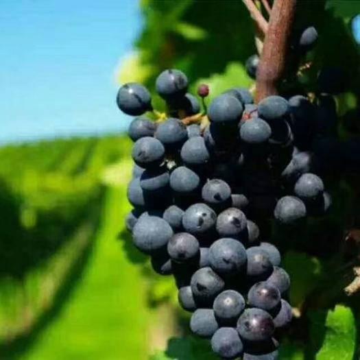 哈密 新疆哈密市天山乡有400吨赤霞珠鲜葡萄,需要销售