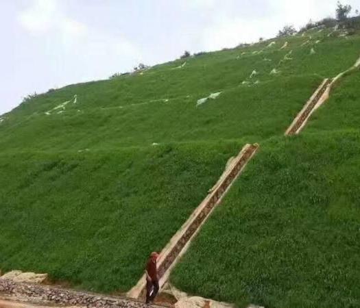 济宁嘉祥县 南方护坡草种子品种