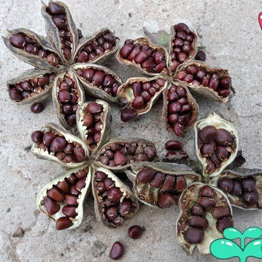 赤峰喀喇沁旗白芍种子