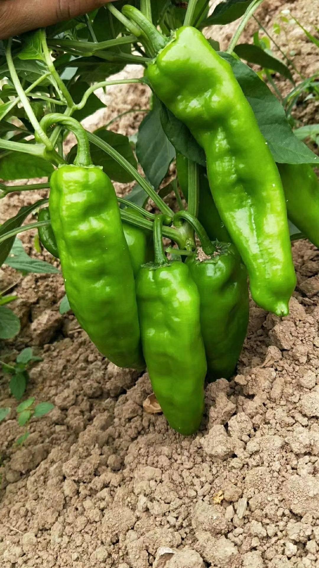 椒由原产中南美洲热带地区的辣椒在北美演化而来,青椒营养丰富,