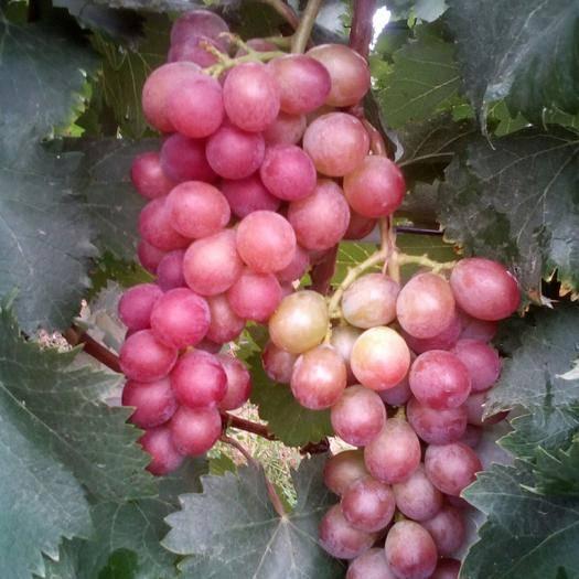 靖远县醉金香葡萄 自然成熟,绿色健康