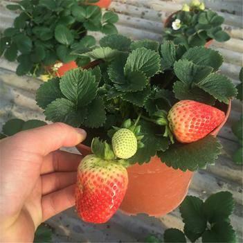 四季草莓苗 24小时发货,现挖现发,承诺死苗补发,支持实地看货!