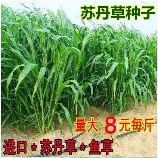 宿迁沭阳县 进口高产苏丹草种子玉米草种子养殖牧草种子猪牛羊鱼渔草籽种籽