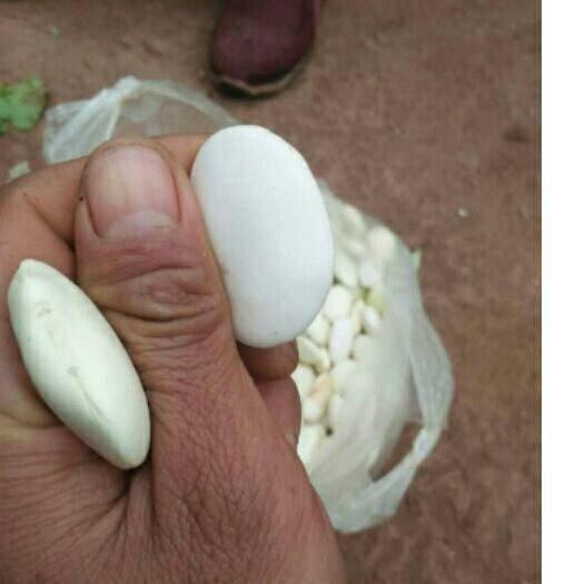 楚雄大姚縣 大白蕓豆。一斤起批。農家自己批發價格