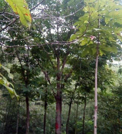 南陽臥龍區 10公分七葉樹
