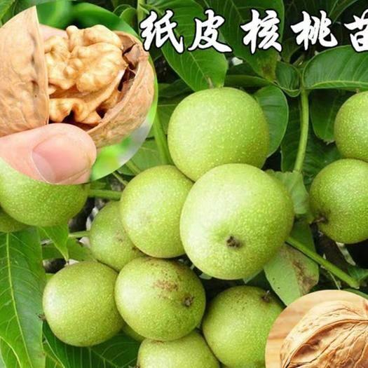 平邑县纸皮核桃苗 产量高,基地直销