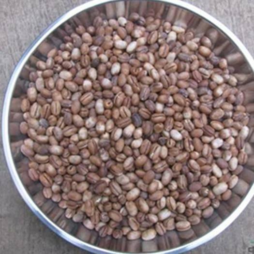 沭陽縣 中東海棗種子新種子包郵