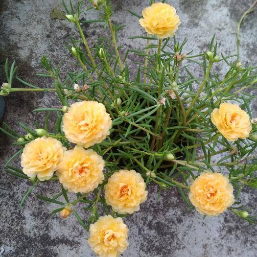 潮州饶平县太阳花种子 太阳花枝条新品重瓣宿根太阳花松针牡丹半枝莲不死午时花