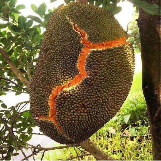 钦州灵山县 泰国红肉12号菠萝蜜苗,带营养杯带商标发货,正品种可签合同