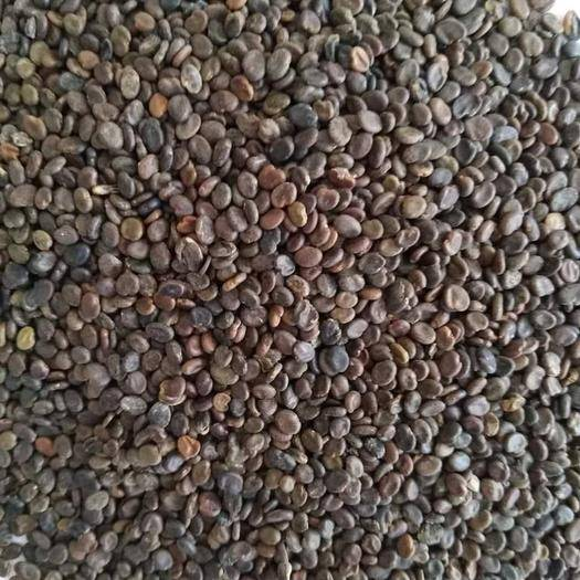 沭阳县 出售草药黄芪种子新棉芪绵芪铁杆软秸黄氏种籽四季播种包邮送资
