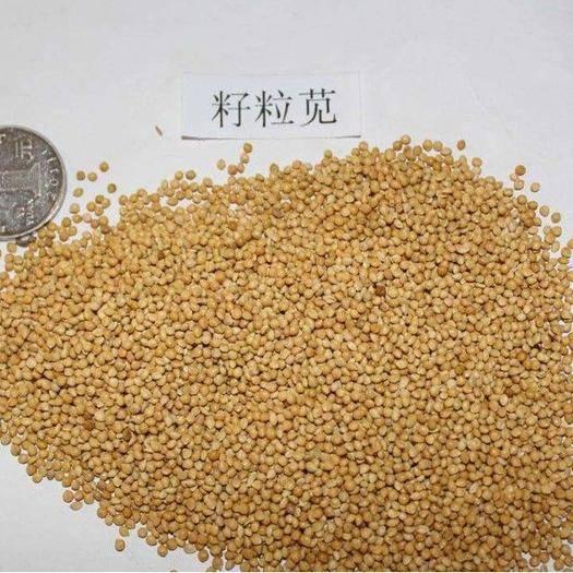 沭阳县籽粒苋种子 高蛋白营养丰富优质牧草种子 高产美国籽粒苋草籽 尾穗苋牧草种