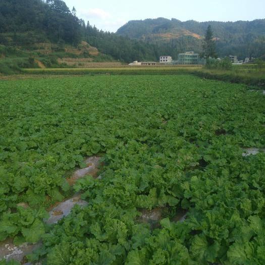 贵州省安顺市西秀区 麻叶菜便宜出售