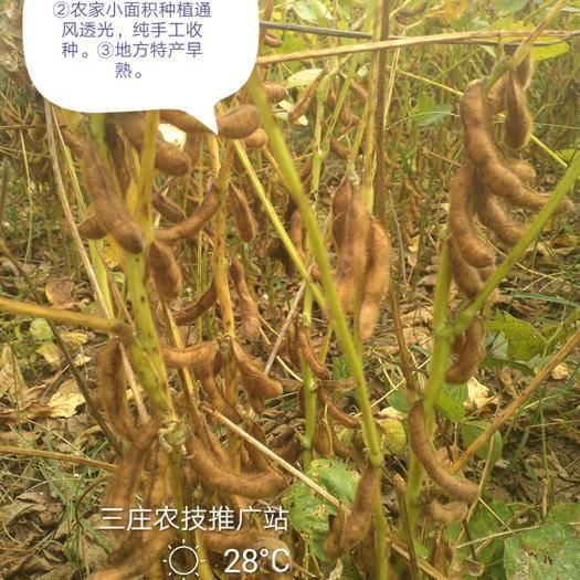 泗阳县肾型黄豆 2019地方特色产品翠扇(四粒黄)优质腐豆!
