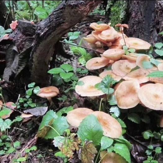 吉林省吉林市桦甸市 野生榛蘑