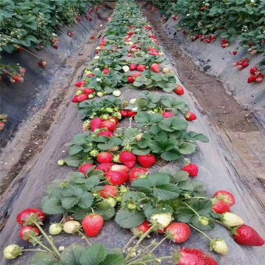 泰安全明星草莓苗 死苗补发全明星 免费提供技术成*高