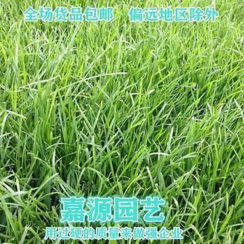 四季青草种子 草坪种子四季青草坪种子包邮