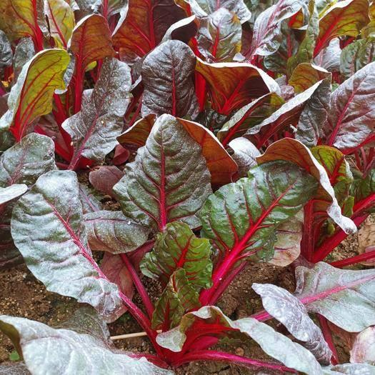 济南槐荫区甜菜种子 红甜菜根 红叶菜根达菜 红 四季种植芽苗菜