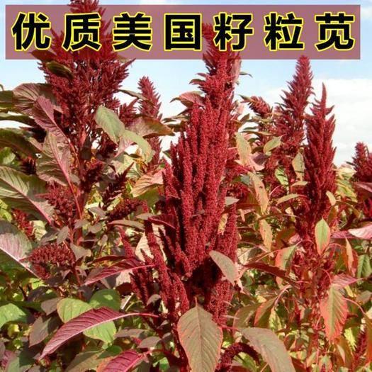 沭阳县 进口美国籽粒苋种子 优质高产 蛋白畜禽牧草 黑白黄千穗谷包邮