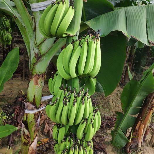 博罗县 香蕉 头年蕉 二年蕉 单重70斤12cm以上