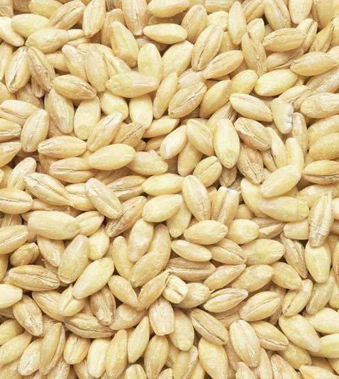 供应小麦种子