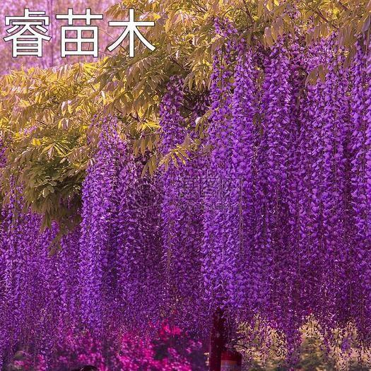 臨沂平邑縣 多花紫藤樹苗 重瓣豐花紫藤樹苗。