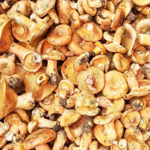 阿坝松潘县松树菌 皮厚肉嫩极其鲜美。