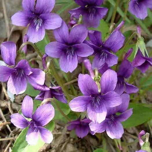 宿迁宿豫区 紫花地丁种子多年生花种籽子野堇菜花籽四季易活地被覆绿耐寒耐