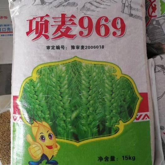 商丘夏邑縣 項麥969小麥種子