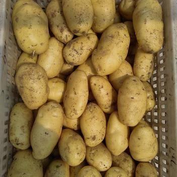 土豆荷兰十五号保证质量大量出货