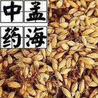 菏澤鄄城縣 炒麥芽 藥用 供應大貨 產地直銷