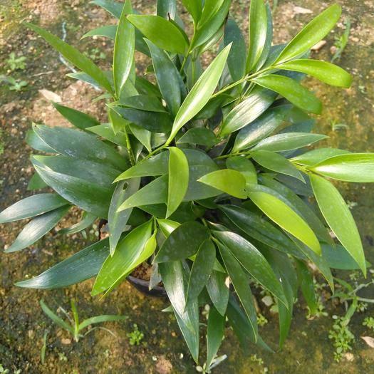 龍巖漳平市 多顆組竹柏,四季常青可驅蚊吸甲醛,凈化空氣。