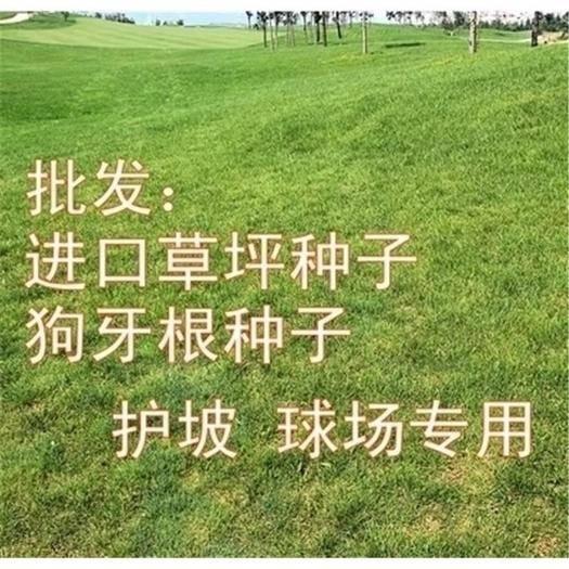 南宁西乡塘区护坡草种子 广西边坡绿化草种