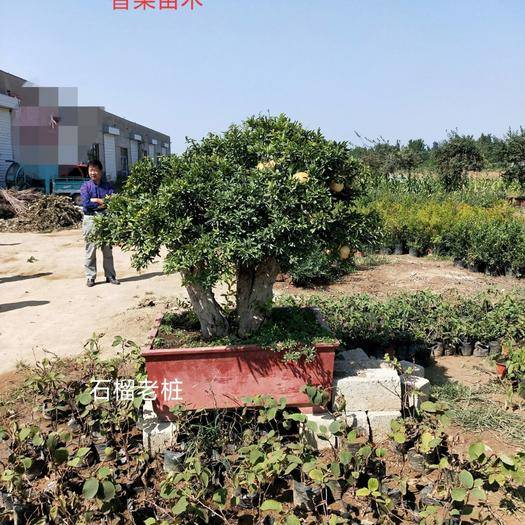 臨沂平邑縣造型石榴樹 石榴樹十年以上老樁,基地直發